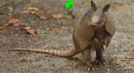 Florida Armadillo Removal Services