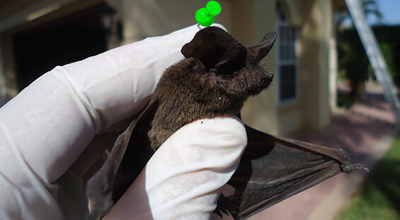 Florida Bat Removal Services