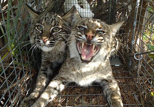 Florida bobcat trapping