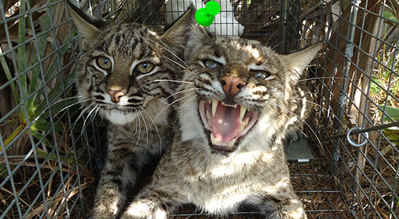 Florida Bobcat Removal Services