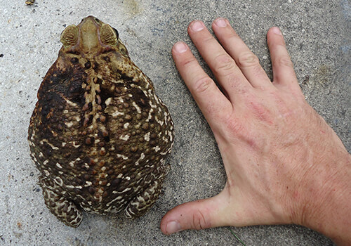 Bufo Toad