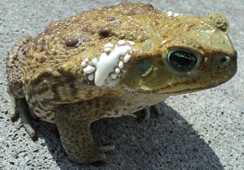 Poisonous Toad Removal