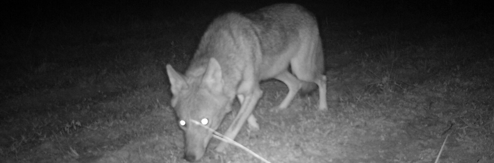 How to haze a coyote