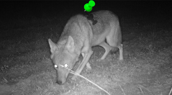 Florida Coyote Removal Services