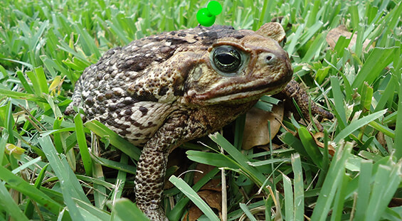 Florida Frog & Toad Removal Services