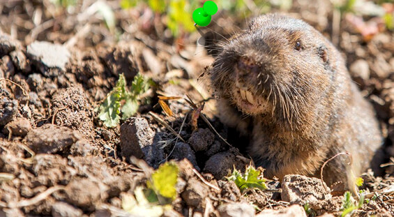 Florida Gopher Removal Services