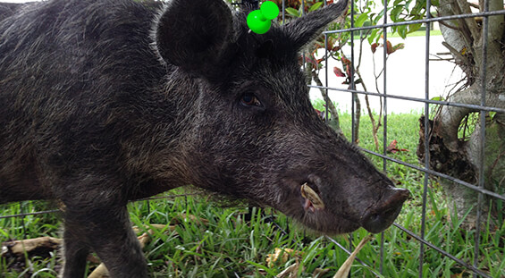 Florida Hog Removal Services