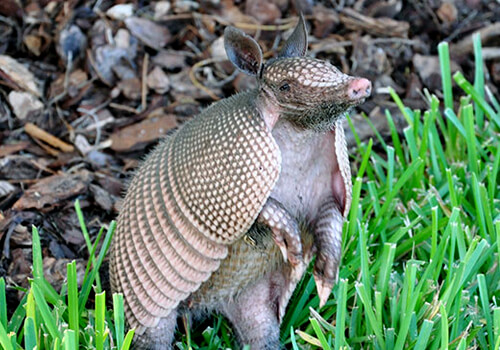 Florida Armadillo Removal