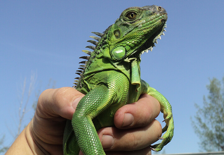 Broward County Iguana Removal