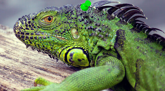 Florida Iguana Control Services