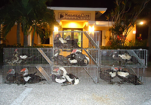 Muscovy Duck Trapping and Removal Services