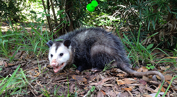 Florida Opossum Removal Services