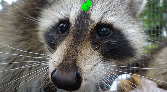 Florida Raccoon Removal Services