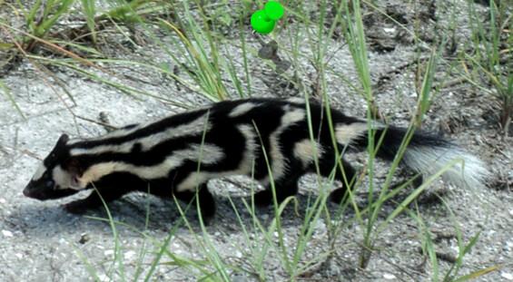 Florida Skunk Removal Services