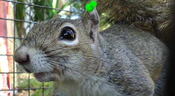 Florida Squirrel Removal Services