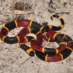Florida Poisonous Snakes