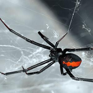 Florida Venomous Spiders