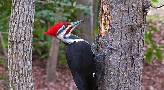 Florida Woodpecker Removal