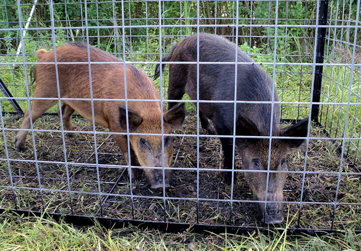 Charlotte County Hog Trapping