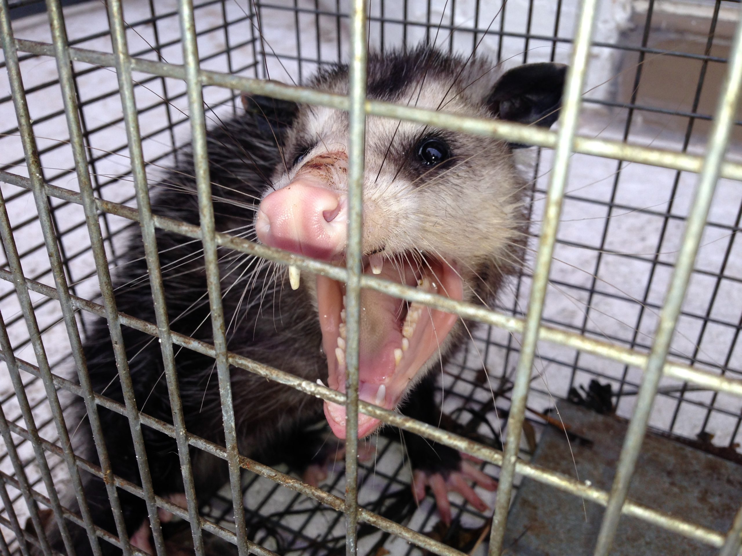 What are ways to Detect A Opossum Problem?